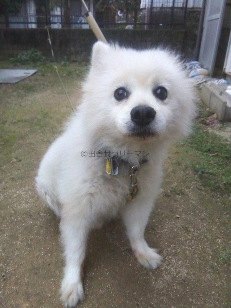 スピッツ犬